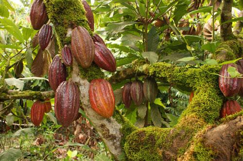 cacao-tree-tonanzin